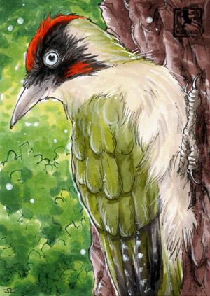 Grünspecht - Vogel