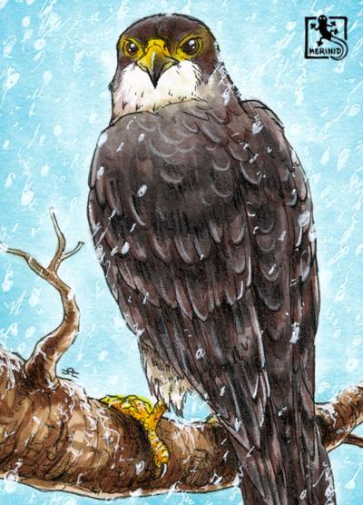 Wanderfalke - Greifvogel