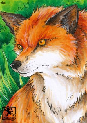 Fuchs - Raubwild